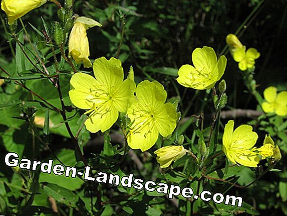 Evening primrose - white, pink and yellow - location and care