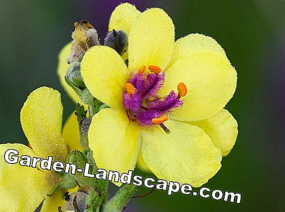 Mullein, Verbascum - plants and care tips