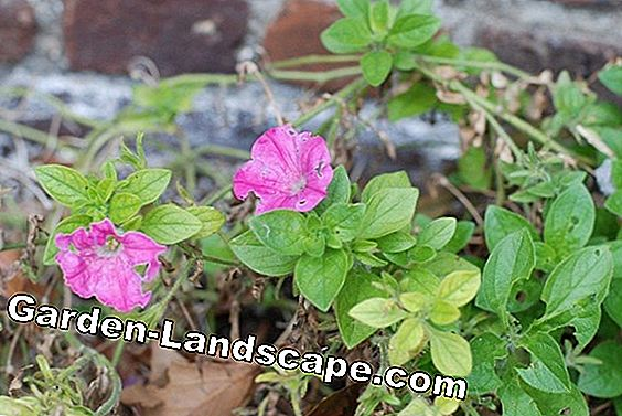 Petunia, Petunia - common diseases and pests