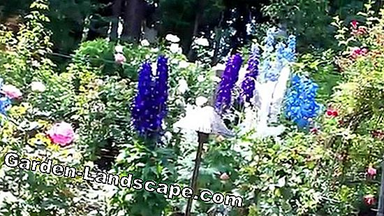 R like delphiniums