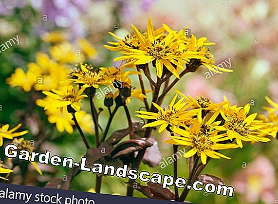 Ragwort (Ligularia) - care