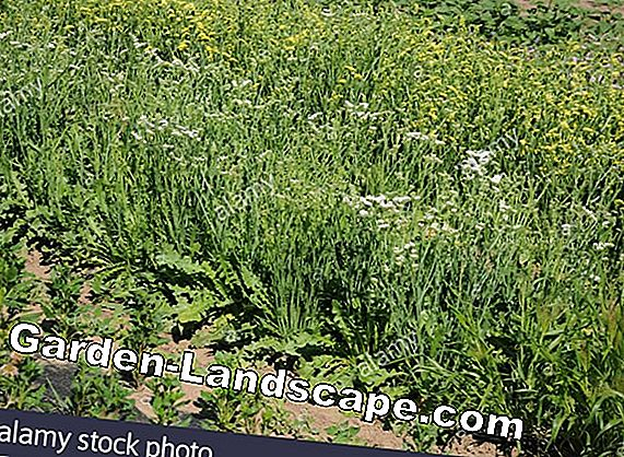 Beach lilac, Limonium - plants and care