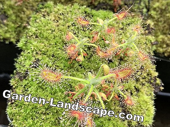 Sundew, Drosera - species, care and propagation