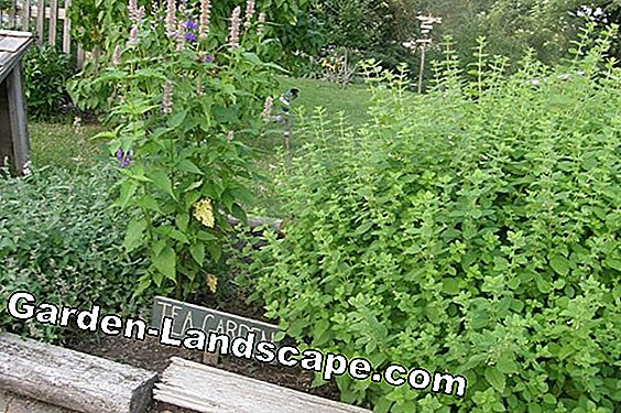 Z like lemon balm