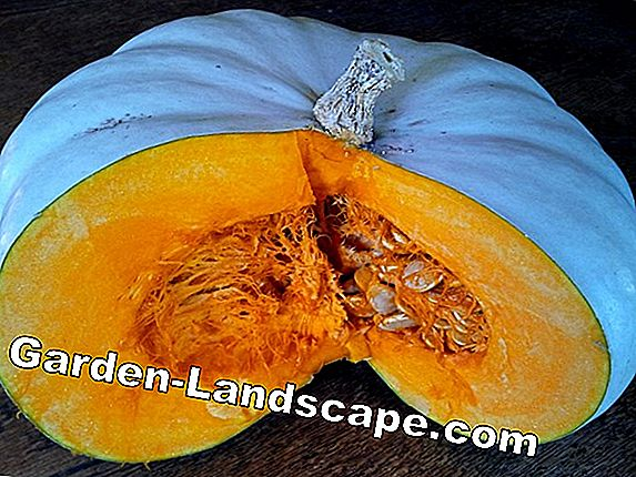 All about pumpkin seeds: sow and dry after harvesting