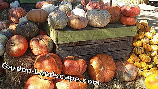 Edible pumpkins: 11 pumpkin varieties with pictures