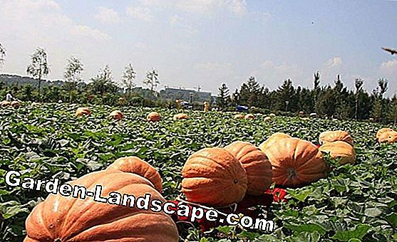 Grow ornamental squash for decoration - sowing, care and harvest