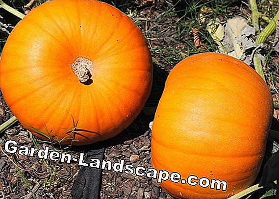 Pumpkin fertilizer - so you fertilize your pumpkin plants properly
