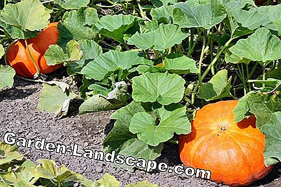 Pumpkin Plant Care - Pulling, Cutting and Co