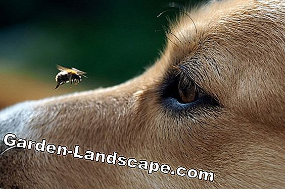 Wasp sting on the dog - Are stings in the mouth or paw dangerous?