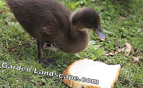 Can you feed birds with bread? What helps? What harm?