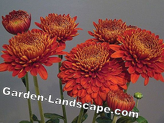 Are chrysanthemums perennial / hardy? Instructions for wintering