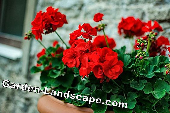 Geraniums overwinter - the basics