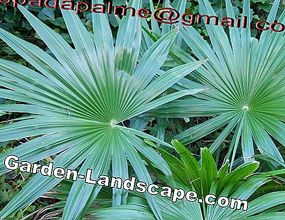 Hardy palms 7 species for the garden up to -25° C