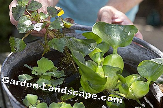 Are pond plants hardy and winterproof - how overwinter?