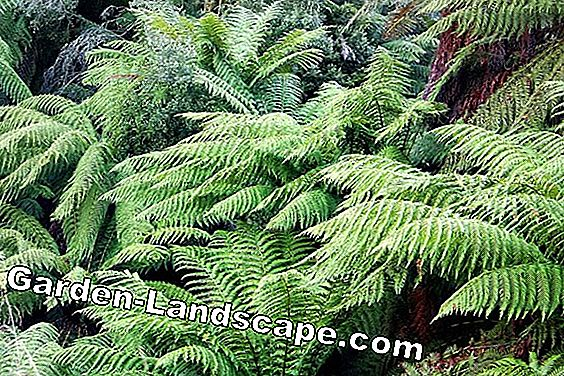 Is tree fern hardy and winter hardy - how overwinter?