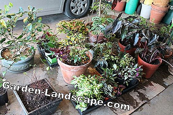 Winter protection for container plants - this is how you cover plants properly
