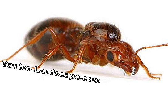 Fight ants in the garden - proven home remedies and methods