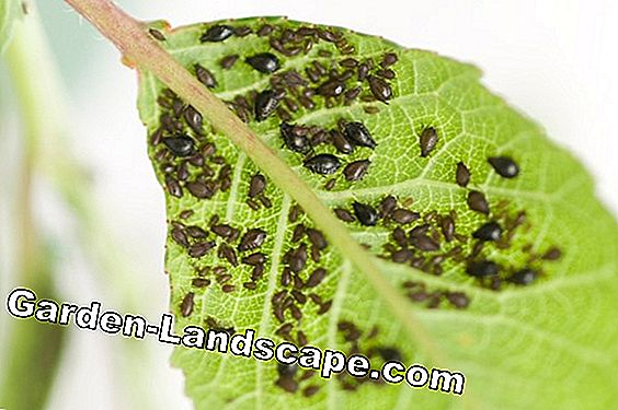 Aphids (lice) on raspberries and currants