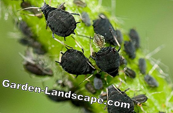 Fight aphids on herbs - get rid of lice quickly