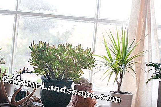 Fight aphids on houseplants - 7 remedies for lice