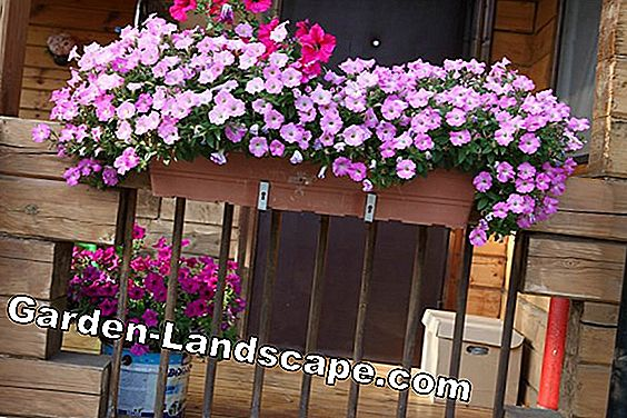 Best planting of flowers for flower boxes and balconies
