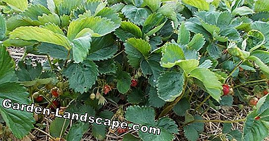 Cutting blackberries - pruning thornless blackberry plants