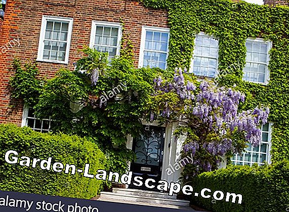 Cut the wisteria - bring it to bloom by pruning