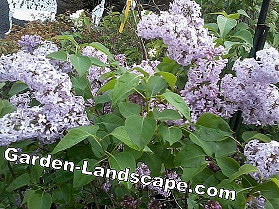 Cutting butterfly lilacs properly - 3 steps to success