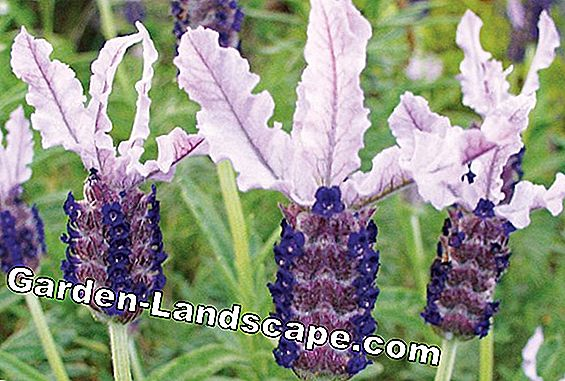 Grow lavender through seeds / cuttings and pull yourself