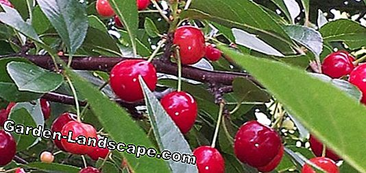 Fight cherry fruit flies - Build cherry fruit fly trap