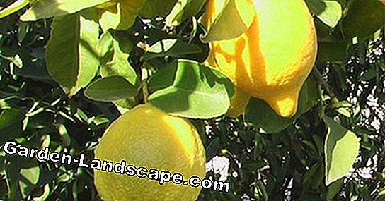 Citrus fertilizers - these home remedies help - make simple fertilizer yourself