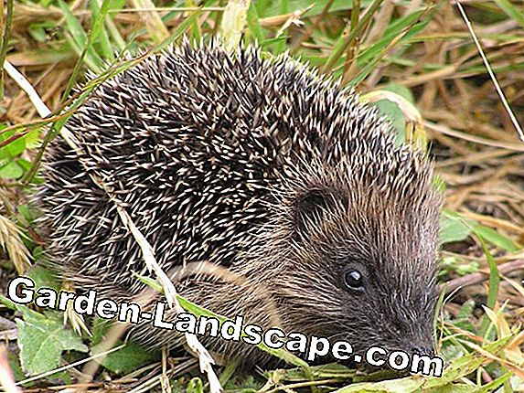 Hedgehog in the garden - even without a hare an amusing thing