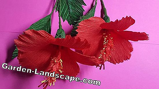 Cut hibiscus - Instructions for pruning