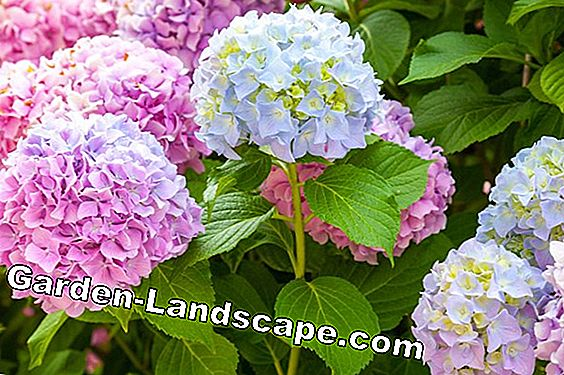 With what and how often should you hydrangea fertilize?