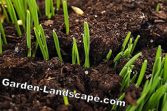 Instructions: Loosen loam soil in the garden and improve