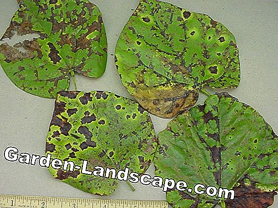 Leaf-spot disease and brown leaves