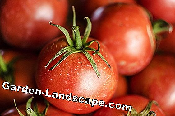 Organic tomato fertilizer - horn shavings & Co.