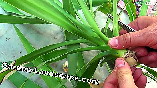 Propagation by stem cuttings - cuttings propagation