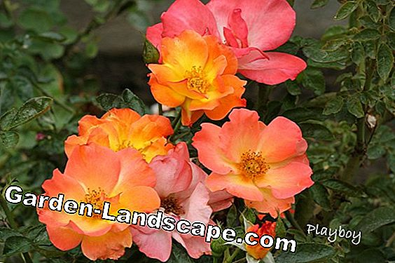 Rose fertilizer - so you can fertilize roses naturally