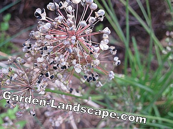 Harvest seeds of chive flowers - instructions for multiplying