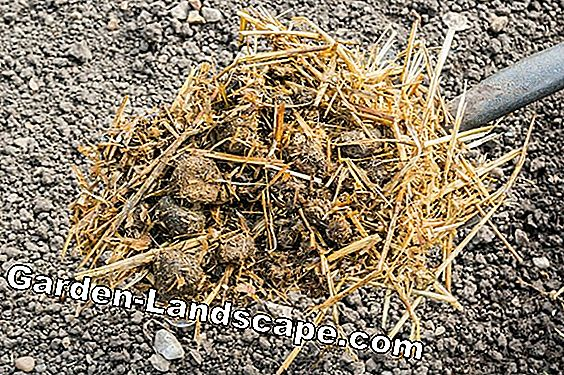Pigeon dung as fertilizer - so fertilize with pigeon droppings