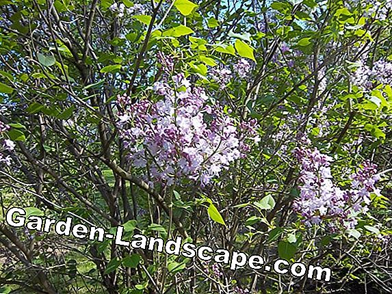 Cut the summer lilacs properly - is it allowed to cut off blooms that have died?