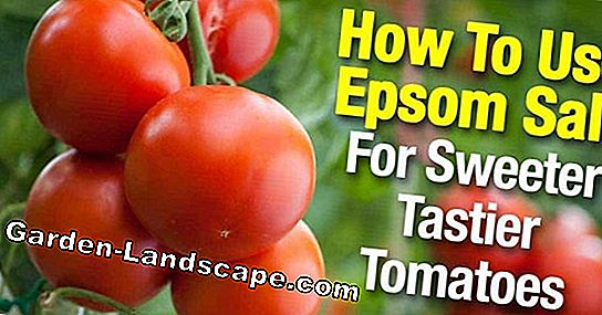 Fertilize tomatoes - how often and with what?