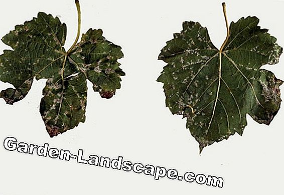 True downy mildew - recognize and fight