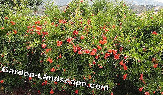 When do you plant hedges? The best planting season for hedge plants