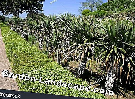 Cut Yucca Palm Trees Correctly - Rejuvenate Palms