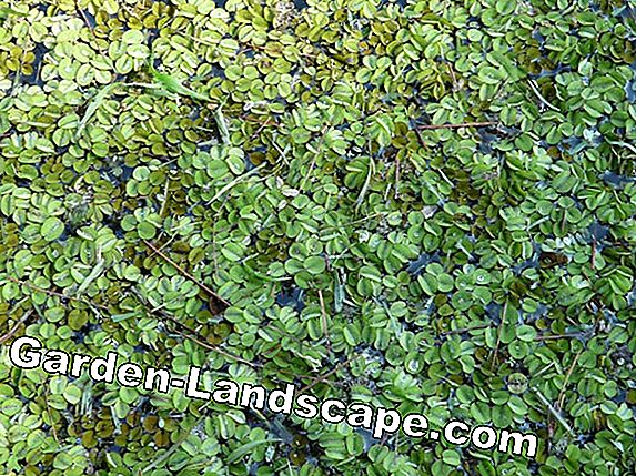 Biological algae control in the garden pond