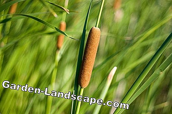 Cattail Plant - Care & Propagation