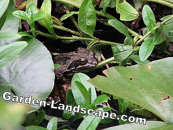Frog in the pond - beneficial insect or pest?
